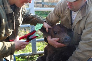 Ear tagging a calf