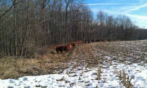 cows on pasture this winter
